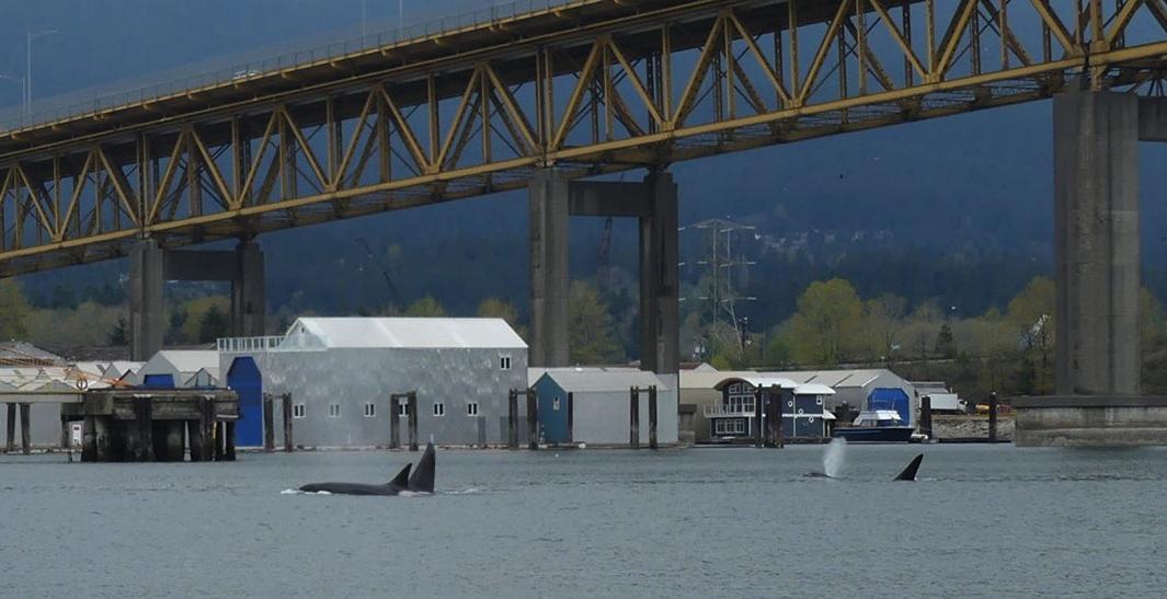 라이온스 게이트 브릿지 아래 범고래가?